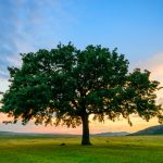 All About Oak Trees