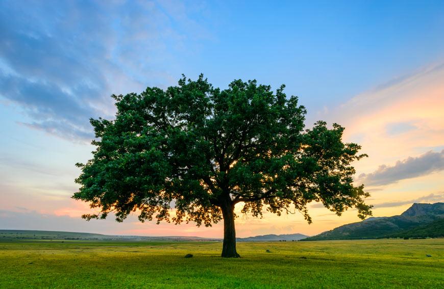About Oak Trees