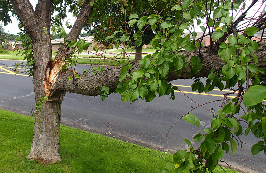 Crown Restoration Or Removal Damaged Tree