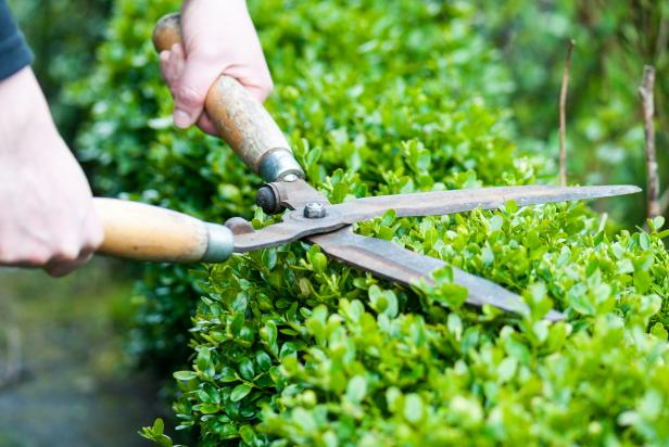 Hedge And Shrub Trimming Featured
