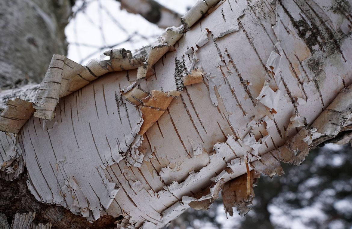 Is Your Tree Losing Bark Signs If A Tree Is Sick Or Dying