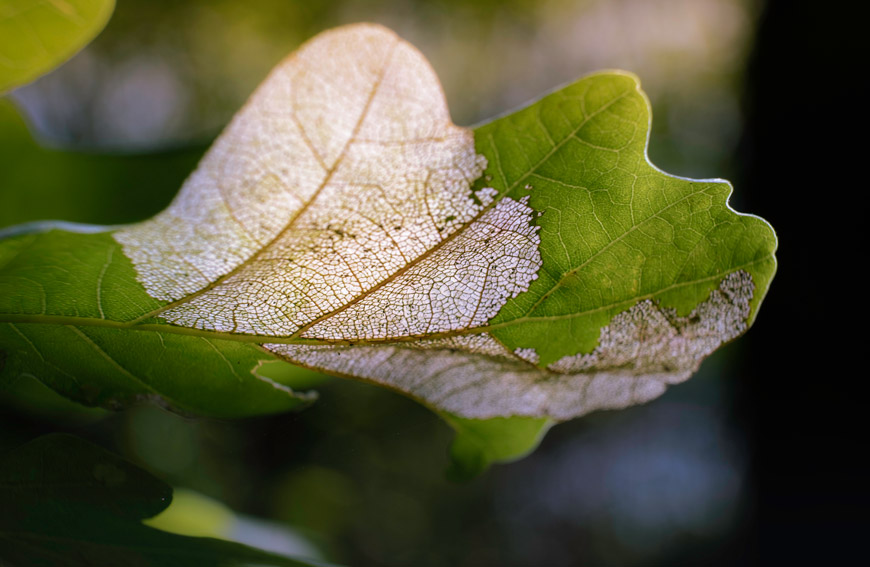 Protect Trees From Oak Wilt