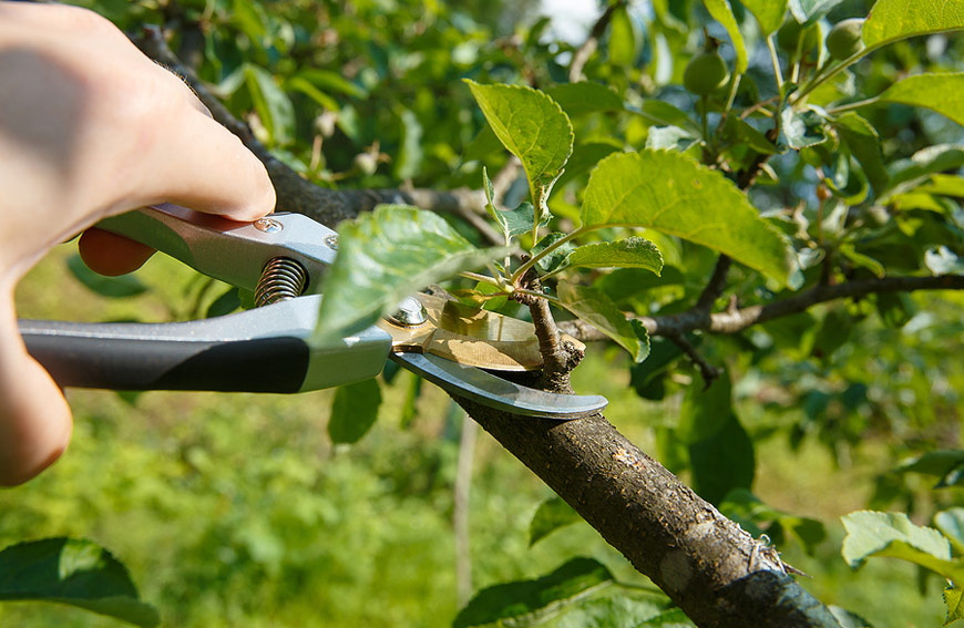 Things To Know When Pruning Tree
