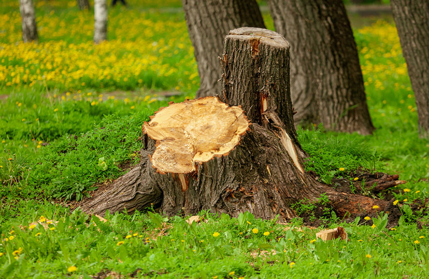 Tree Stump Removal Vs Grinding