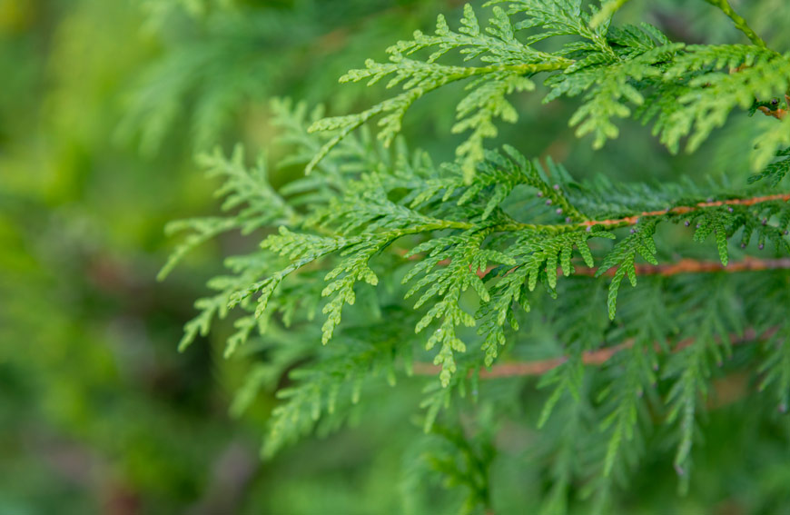 Why Evergreens Retain Color All Year Long