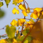 What Does Yellow Tree Leaves In The Summer Mean?