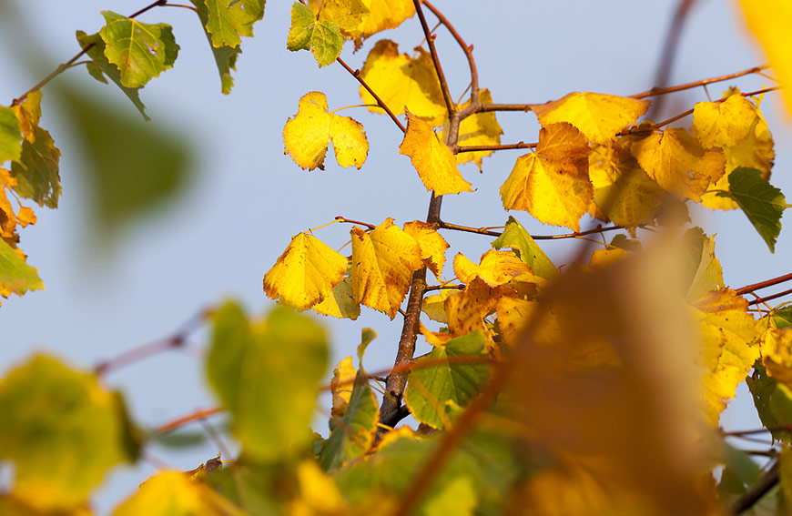 Yellow Tree Leaves In Summer